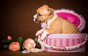 Картинки Собаки Розы Корзинка Щенок Амстафф