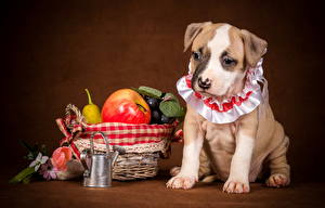 Фотография Собака Фрукты Яблоки Щенки Амстафф животное