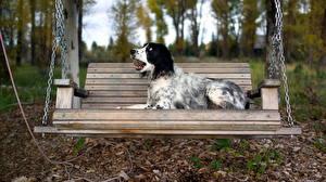 Фотографии Собака Английский сеттер Скамейка животное