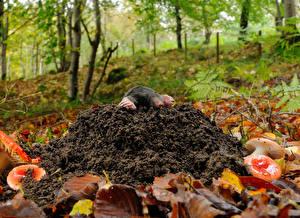 Фотографии Грибы природа Листья крот животное