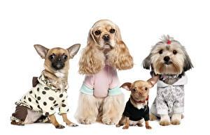 Картинка Собаки Чихуахуа Спаниеля Болоньез Щенки
