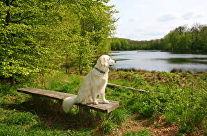 Фото Реки Собаки Траве Скамейка Ретривер Природа Животные