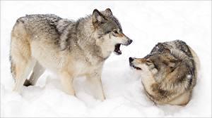 Фото Волки Двое Снеге Животные