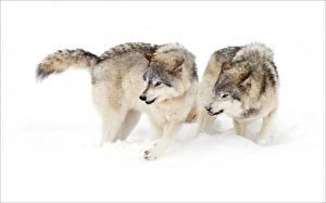 Картинки Волки Двое Снега животное