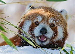 Фото Бамбуковый медведь Малая панда Морда Смотрит Животные