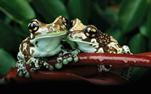 Картинка Лягушки Два Животные