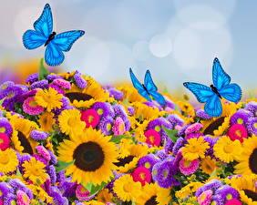 Фото Астры Подсолнухи Бабочки Много цветок