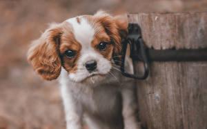 Фотография Собака Спаниель Щенков Кинг чарльз спаниель животное