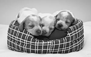 Фотографии Собаки Щенка Втроем Спит Спаниеля Животные