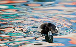 Фотографии Птица Утки Вода Плавают Животные