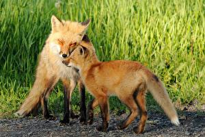 Обои Лисица Два Траве Животные