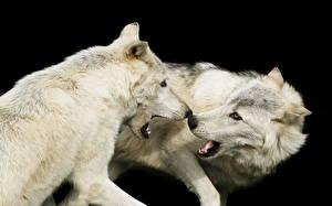 Фото Волки Белых Два Животные