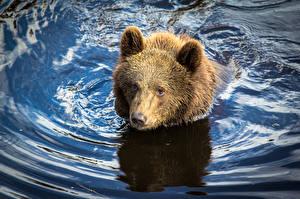 Фотографии Медведь Гризли Вода Плавает Животные