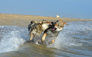 Фотография Собака Море Побережье Волки Двое Бегущая Брызги Czechoslovakian Wolfdogs Животные