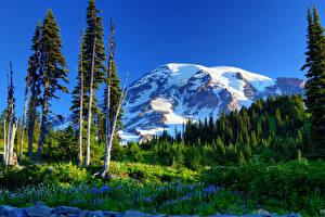 Картинки США Парк Гора Пейзаж Деревьев Ели Трава Маунт-Рейнир парк Природа