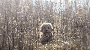Фото Собаки Мальтезе Трава Болоньез животное