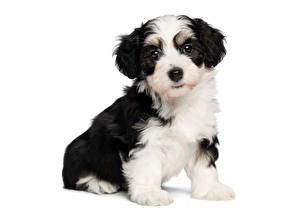 Картинка Собаки Щенок Бордер-колли tricolor havanese Животные