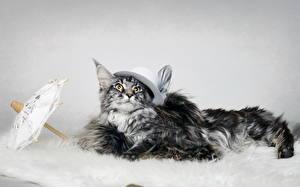 Фотография Кошки Шляпа Зонт Животные