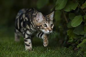 Обои Кошки Бенгальская кошка Траве