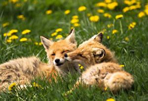 Фотографии Лисица Трава Двое Животные
