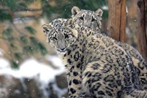 Картинки Ирбис Детеныши Большие кошки Двое Снеге Животные