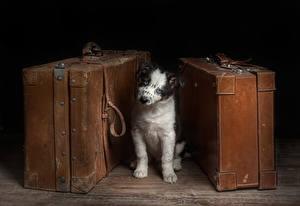 Фотография Собаки Щенок Овчарка Австралийская овчарка Бордер-колли Животные