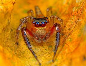 Картинка Пауки Насекомые Глаза Вблизи Пауки-скакуны