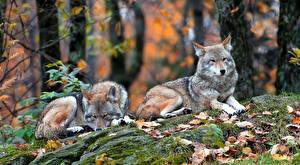 Фото Волки Вдвоем Листья Животные