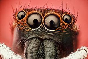 Картинки Пауки Насекомые Крупным планом Глаза Пауки-скакуны