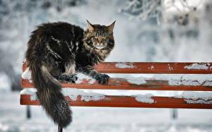 Фотография Коты Пушистый Снеге Скамейка Животные