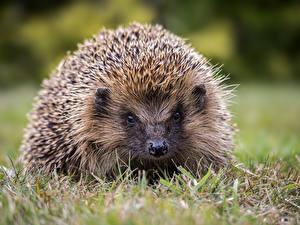 Фотография Ежи Траве животное
