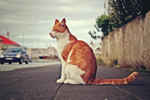 Фотографии Кошки Сидит Тротуар животное