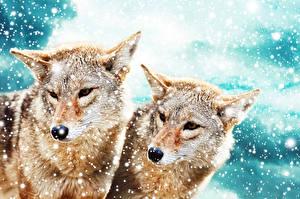 Фото Волк Двое Снежинка Животные