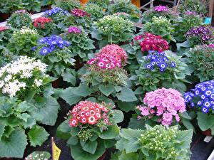 Обои Цинерария Много Цветы