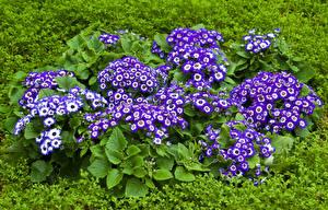 Фото Цинерария Много Фиолетовый