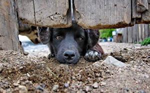 Фото Собака Щенка Забор Ретривера животное