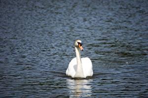Обои Птицы Лебедь Воде Плывет Животные