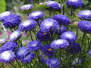 Фотография Астры Много Фиолетовых Цветы