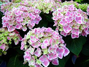 Фото Гортензия Много Розовая Цветы