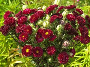 Фотографии Астры Много Бордовый Бутон цветок