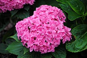 Картинка Гортензия Розовая Цветы