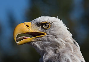 Фотографии Птица Орел Вблизи Клюв животное