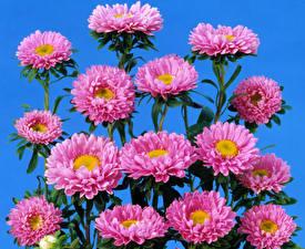 Картинки Астры Много Розовый Цветы