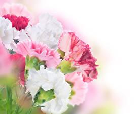 Картинки Гвоздики Вблизи цветок