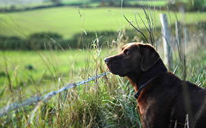 Фотографии Собаки Трава Ограда Ретривера Лабрадор-ретривер животное