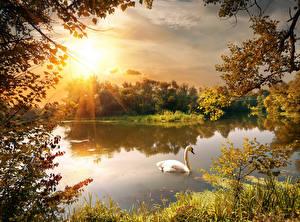 Картинки Времена года Осенние Речка Лебеди Рассветы и закаты Пейзаж Природа