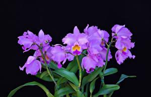 Фото Орхидеи Фиолетовый Цветы