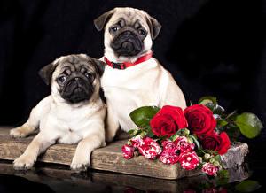 Фотографии Собака Розы Мопсы Вдвоем животное