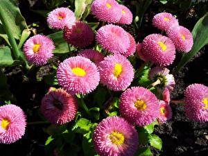 Фотографии Астры Много Розовый цветок