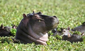 Обои Гиппопотамы Крупным планом Животные